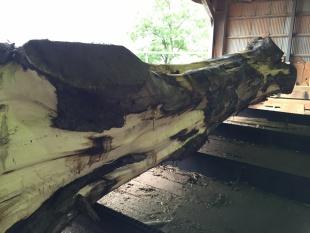ウォールナット 原木